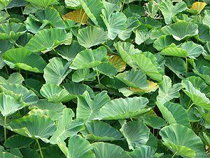 Colocasia - Colocasia esculenta