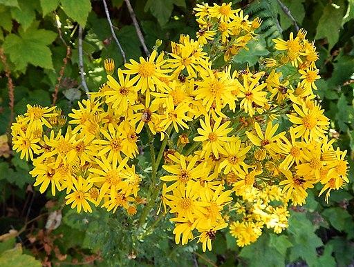 Tansy ragwort Senecio jacobaea