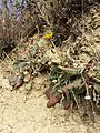 Taraxacum serotinum sl66.jpg