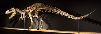 Tarbosaurus - Mounted adult skeleton