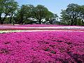 Tatebayashi Yachonomori Garden Shibazakuragarden 1.jpg