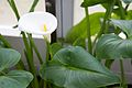 Tatton Park 2015 43 - Lily.jpg