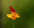 Tawny Coster (Acraea terpsicore)- Male in Hyderabad, AP W 220.jpg