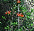 Tecoma capensis 2.jpg