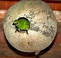 Tersina viridis female nest.jpg