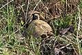 Testudo hermanni - šumska kornjača parenje (1).jpg