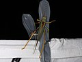 Tettigoniidae sp. (28247794529).jpg