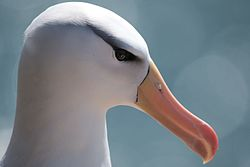 Black browed albatros at the island of Heligoland