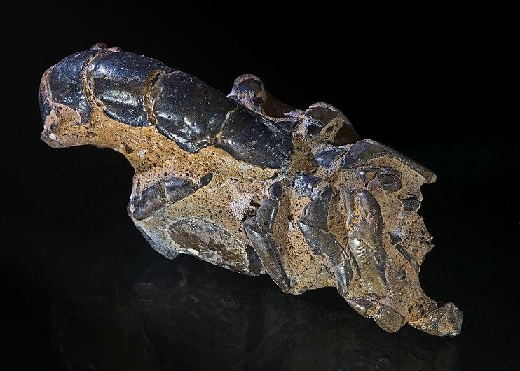 Thalassina anomala - Fossil - Gunn Point, N Territory, Australia 86x35x40.jpg
