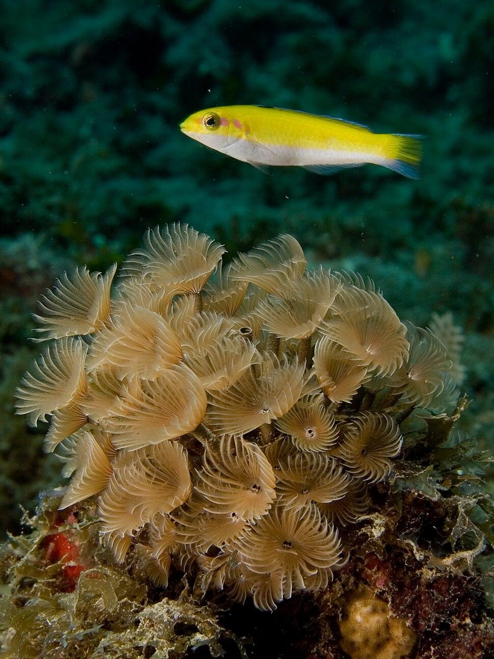 Thalassoma bifasciatum (Bluehead Wrasse) juvenile yellow stage over Bispira brunnea (Social Feather Duster Worms)