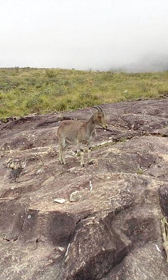 Eravikulam National Park - Nilgiri Tahr spotted in Eravikulam National Park