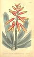 The Botanical Magazine, Plate 457 (Volume 13, 1799).png