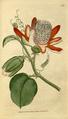The Botanical Magazine, Plate 66 (Volume 2, 1788).png