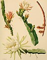 The Cactaceae - descriptions and illustrations of plants of the cactus family (1919) (14780161651).jpg