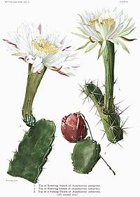 Illustration från The Cactaceae Vol II