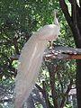 The White Peacock.jpg