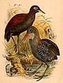 The birds of Celebes and the neighbouring islands - XLII.jpg
