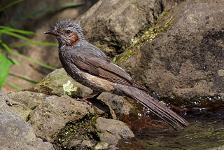 The brown-eared bulbul after playing with water