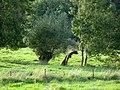 Thiérache tronc (entre Burelles et Prisces) 4.jpg