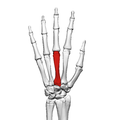 Third metacarpal bone (left hand) 02 dorsal view.png