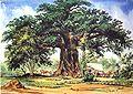 Thomas Baines Baobab.jpg