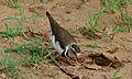 Three-banded Plover (Charadrius tricollaris) (6002375913).jpg