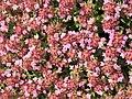 Thymus serpyllum kz02.jpg