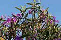 Tibouchina Granulosa (Purple Glory Tree) (28862887476).jpg