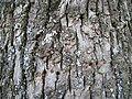 Tilia americana bark.jpg