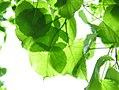 Tilia japonica, leaves 01.jpg