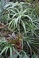 Tillandsia albertiana - Buffalo Botanical Gardens.jpg