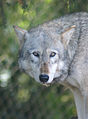 Timber Wolf (Canis lupus), Colchester Zoo.jpg