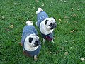 Tiny dogs in sweaters 1 (2912029485).jpg