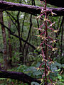 Tipularia discolor - Crippled Cranefly Orchid 2.jpg