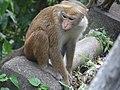 Toque macaque monkeys of Sri Lanka 02.jpg