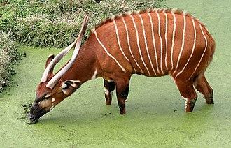 Bongo (antelope) - A bongo drinks from a swamp.