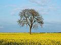 Tree in oilseed field near Broadwell - geograph.org.uk - 1267011.jpg