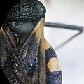 Triatoma patagonica, escutelo, corium y conexivo.jpg
