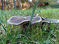 Tricholoma terreum 2.jpg