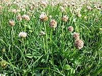 Trifolium fragiferum (subsp. fragiferum) sl21.jpg