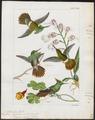 Trochilus chalybeus - 1820-1860 - Print - Iconographia Zoologica - Special Collections University of Amsterdam - UBA01 IZ19100447.tif