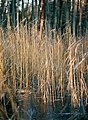 Trockenes Gras in gefrorenem Tümpel im Darßwald.jpg