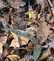 Trout lily Erythronium americanum.jpg