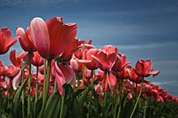 Tulips at Skagit Valley Bulb Farm.jpg