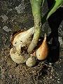 Tulpen Tochterzwiebeln (2).jpg