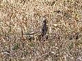 Turdus pilaris EM1B7089 (49700821133).jpg