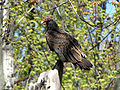 Turkey Vulture, Ottawa.jpg