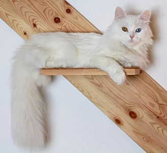 Turkish Angora - Turkish Angora with odd eyes