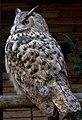 Turkmenian Eagle Owl 1 (3938553444).jpg