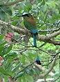 Turquoise-browed Motmot - Eumomota superciliosa.jpg